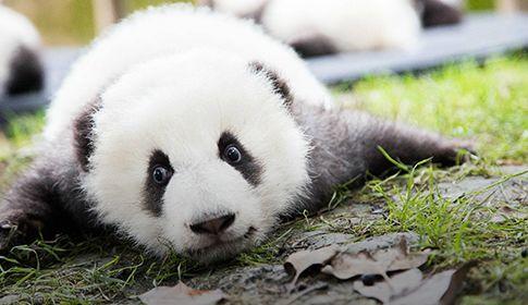 """我曾密谋""""偷走""""一只大熊猫"""